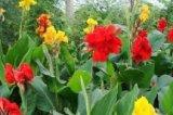 山东优质的花叶美人蕉生产基地花叶美人蕉