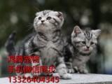 广州哪里有卖纯种猫咪美短多少钱一只美短价格多少美短好养吗