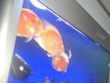 自己的鹦鹉鱼
