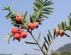 红豆杉的养殖