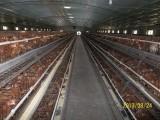 青年鸡厂家,为您推荐划算的青年鸡