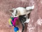 美短虎斑加白起司小猫转让出售有偿领养