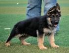 重庆里出售德国牧羊犬 重庆哪家宠物店信誉好