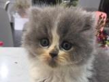 自家英短蓝白猫出窝求收养