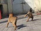 精品成年马犬幼犬 撕咬狠 兴奋度高弹跳好 性格猛烈