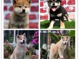 纯种的日本尖嘴犬 银狐犬 出售.包健康,可上门