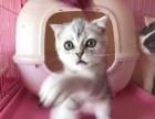 可爱的虎斑猫咪有三只 折耳立耳都有