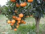 纯天然成熟果,自家果园直供,欢迎你广大顾客选购