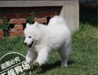 萨摩耶犬价格 纯种萨摩耶多少钱一只 华昇狗场直销萨摩