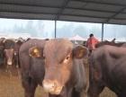山西祁县改良黄牛价格