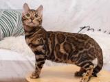 重庆璧山纯血孟加拉豹猫放心购买