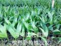 海南省定安槟榔苗出售 万宁优质槟榔苗 沈氏苗圃3.5公分以上