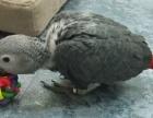 出售自己手養剛果灰鸚鵡 很親人 已斷奶 灰鸚鵡 養活