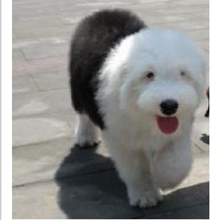 纯种古牧犬舍出售健康可爱古牧幼犬 保证纯种健康