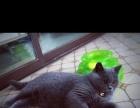 家养英短蓝猫