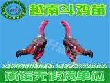 东升禽苗孵化公司出售专业的广西鸡苗-广西鸡苗养殖场