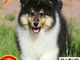 上海哪里有卖苏格兰牧羊犬的 苏格兰牧羊犬好养吗