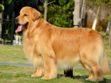 市纯种金毛 自家养殖品相一流 包健康 可签协议 上门选狗