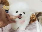 广州纯种博美犬一只多少钱 品质保障 国庆期间有优惠 签协议