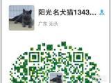 长期出售高品质英短都是包子脸 微信yg00504