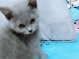 英短蓝猫,可萌可高冷