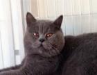 楼房家养英国短毛猫蓝猫渐层出售苏格兰折耳有售