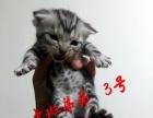 自己猫舍繁育美短虎斑小猫
