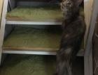 赛级缅因库恩猫出售证书疫苗齐全【麦塔宠物】