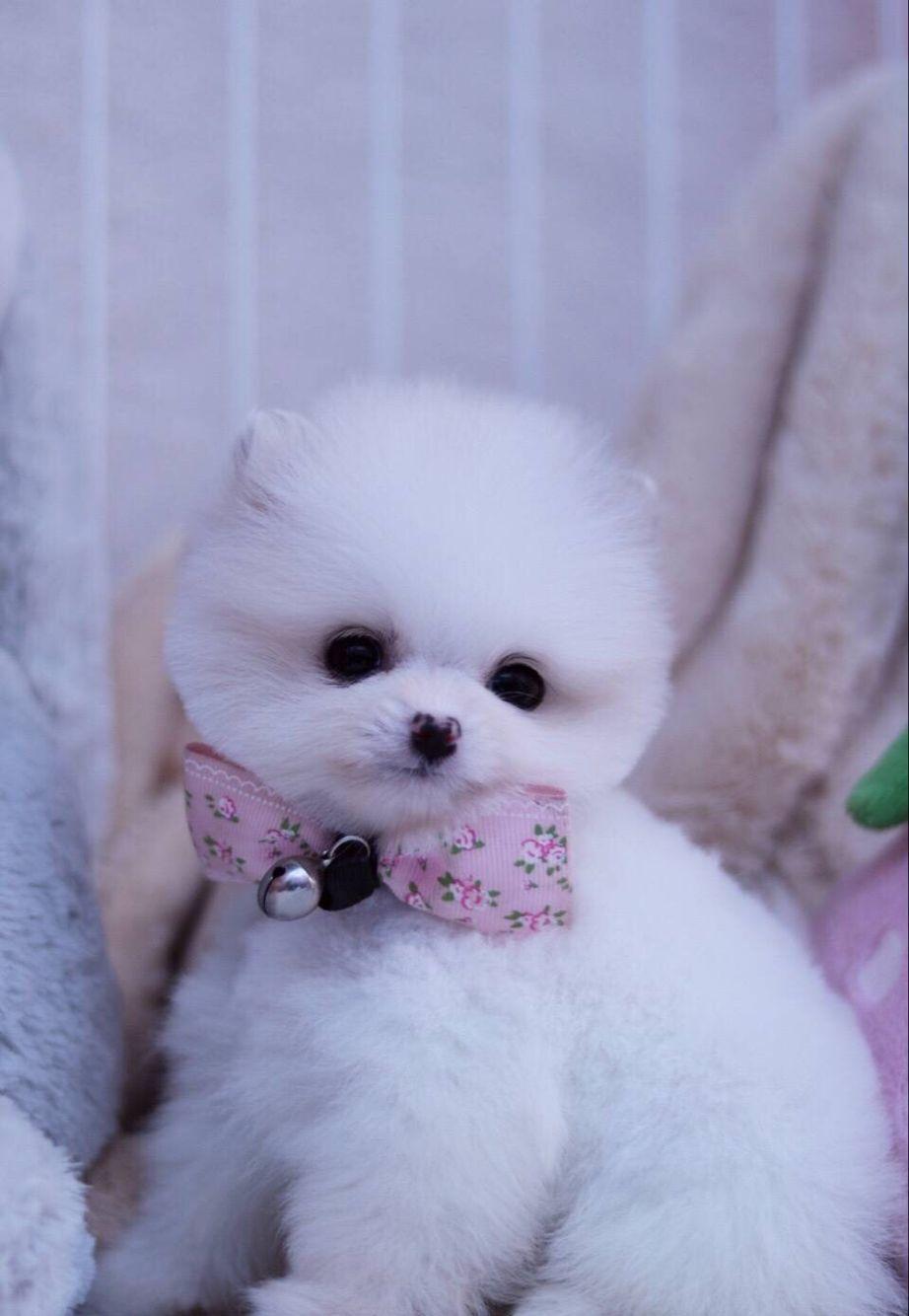 博美 哈多利版博美幼犬 纯种健康