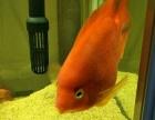 二条鹦鹉鱼,一条皇冠,一条红宝石