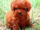 三亚哪有泰迪犬卖 三亚泰迪犬价格 三亚泰迪犬多少钱