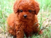 泉州哪里有泰迪犬卖 泉州泰迪犬多少钱