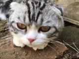 北京种猫两针进口疫苗已打