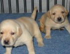 咸阳那里有拉布拉多犬卖 咸阳拉布拉多犬价格 拉布拉多犬多少钱