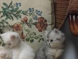 800-1500,春节特卖啦,自家繁殖猫宝宝