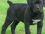 合肥哪有卡斯罗犬卖 合肥卡斯罗犬价格 合肥卡斯罗犬多少钱