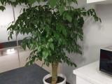 幸福树绿植花卉盆景-苏州花卉绿植盆景苗圃养殖基地销售配送