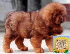 精品纯种藏獒,优选培育强健幼犬,确保健康