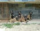 出售纯种马犬幼犬实物拍摄价格公道马犬照片马照片马犬价格