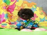 上海里有卖漂亮泰迪犬 宠物泰迪金牌大头泰迪犬