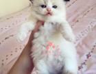 大连哪里卖布偶猫 布偶猫价格 布偶猫哪里有卖