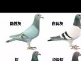 信鸽 颜色鸽 少见的隐性灰