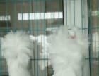 鄂尔多斯哪里有卖元宝鸽的