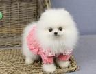 哈多利球体博美犬 小巧可爱博美 纯种健康