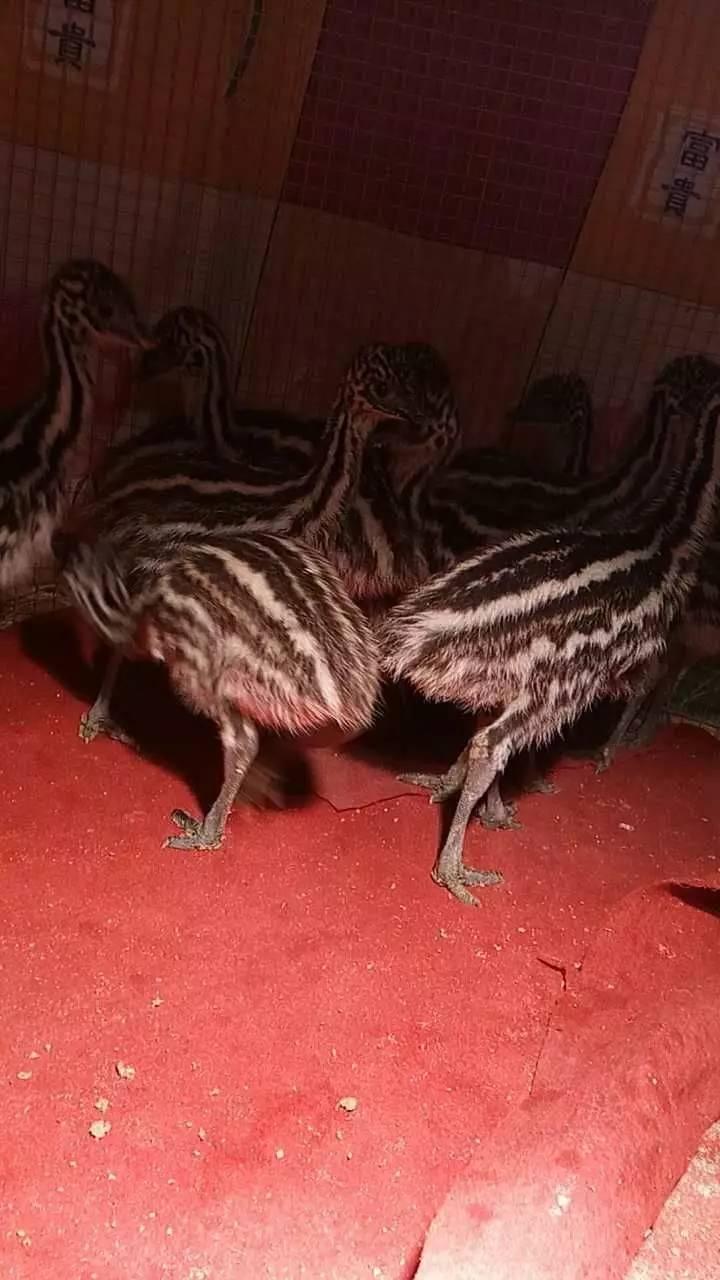 优质鸵鸟 种鸟引进非洲 纯种鸵鸟仔 鸵鸟蛋