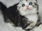 重庆江北美国短毛加白猫价钱