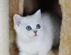 家庭繁殖英短渐层猫 品相好 健康纯种 欢迎上门