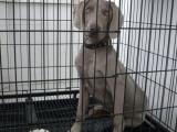 嗅觉灵敏,耐力好,能打猎看家的魏玛/威玛小猎犬
