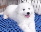 大白熊犬 常年销售 包细小犬瘟冠状 包防疫包纯种