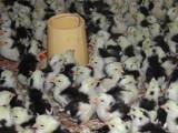 供应广东贵妃鸡苗,珍珠鸡苗,绿壳蛋鸡苗,鸵鸟苗等各种土鸡苗